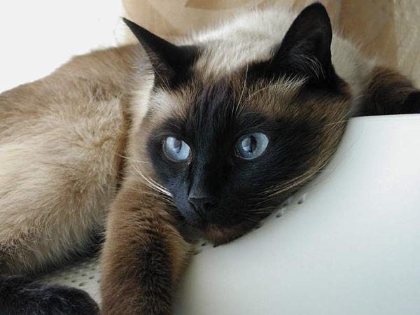 Агрессивность у кошек