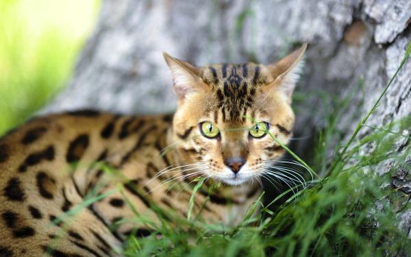 Промежностная грыжа у кошки