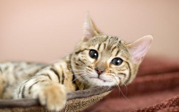 Дископатия у кошек