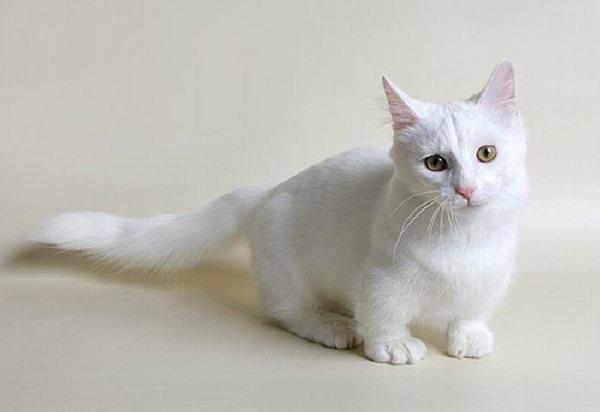 Менингоэнцефалит у кошек