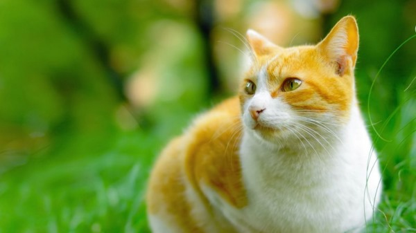 Бордетеллез у кошки
