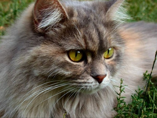 Боррелиоз у кошки
