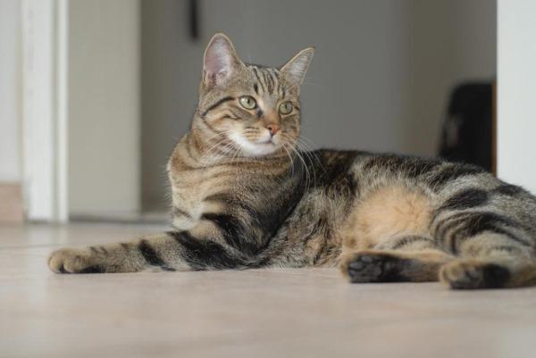 Паховая грыжа у кошки