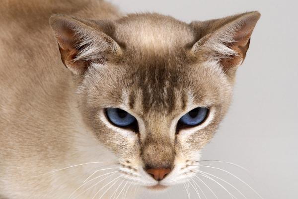 Вялый аппетит у кошки