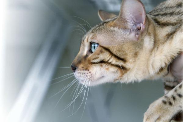 Закупорка пищевода у кошек