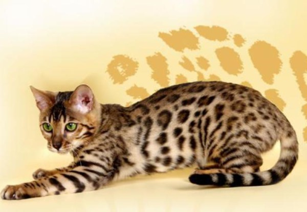 Заболевания желудка у кошек