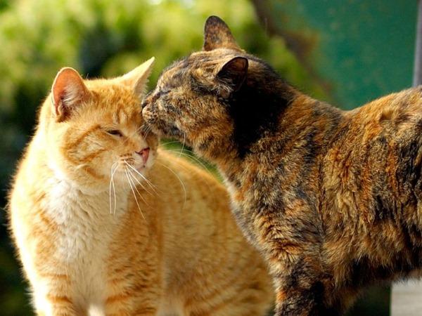 Метеоризм у кошек