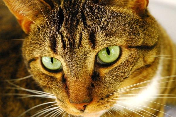 Грипп у кошки