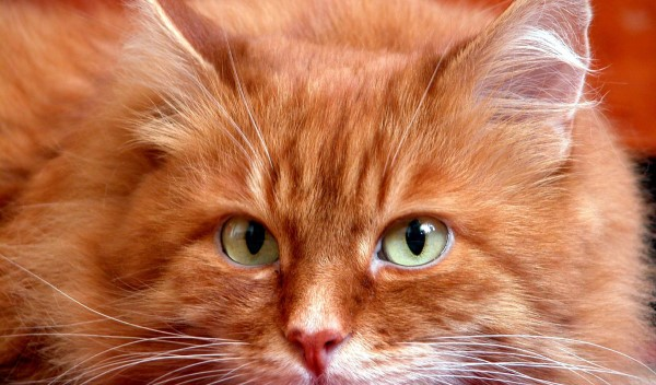 Туберкулёз у кошек