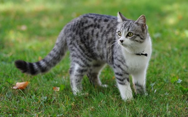 Эмфизема легких у кошек