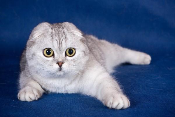 Вывих у кошки