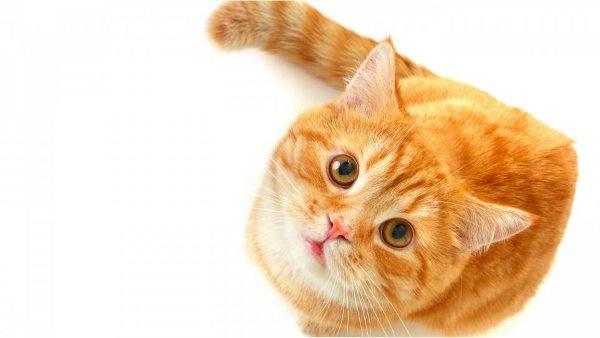 Пневмоторакс у кошки