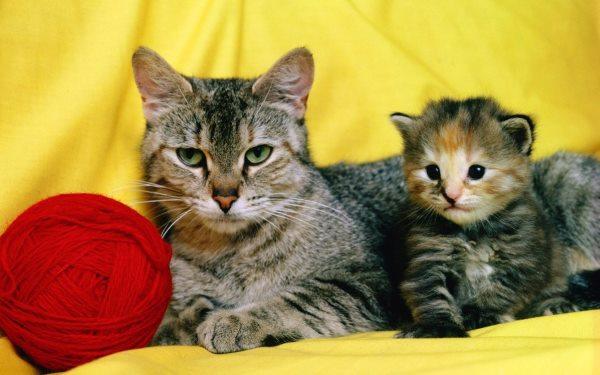 Плеврит у кошек