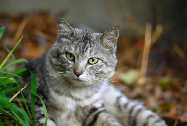 Трахеит у кошки