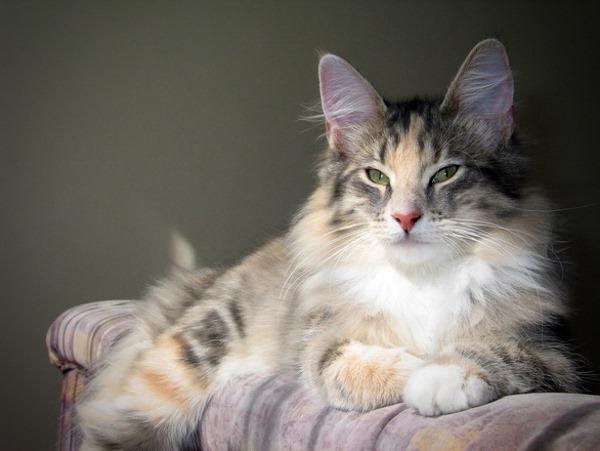 Криптококкоз у кошки