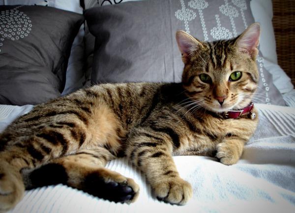 Аспергиллез у кошки