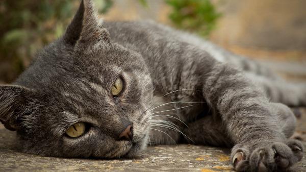 Солнечный и Тепловой удар у кошек
