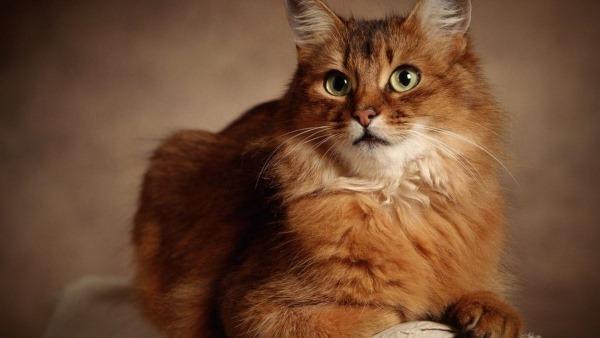 Гистоплазмоз у кошки