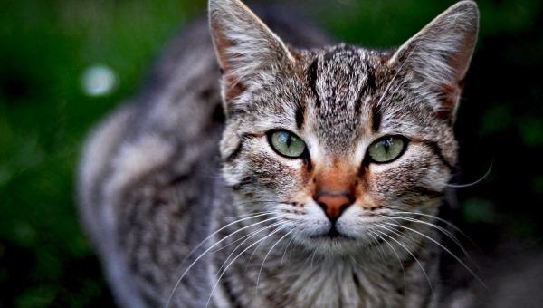 Споротрихоз у кошки