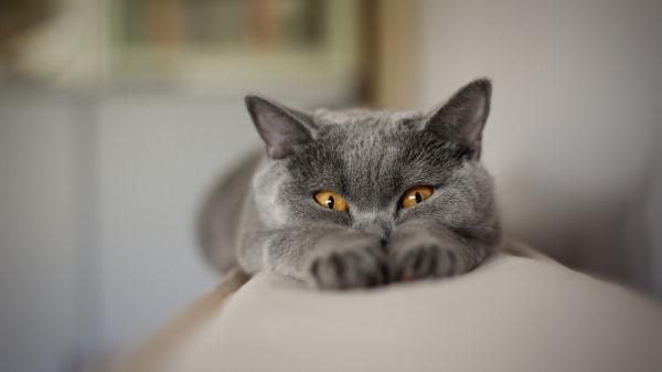 Растяжение у кошек