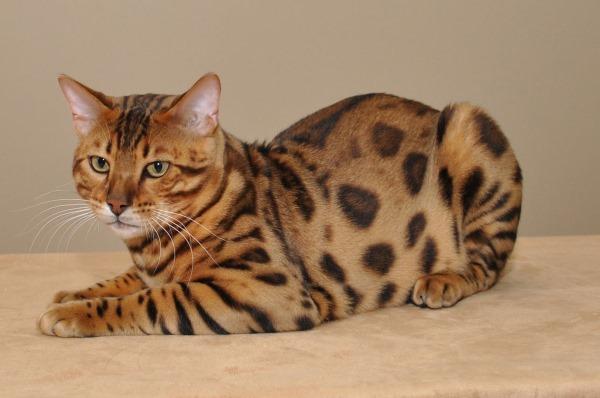 Ушибы тела и конечностей у кошки
